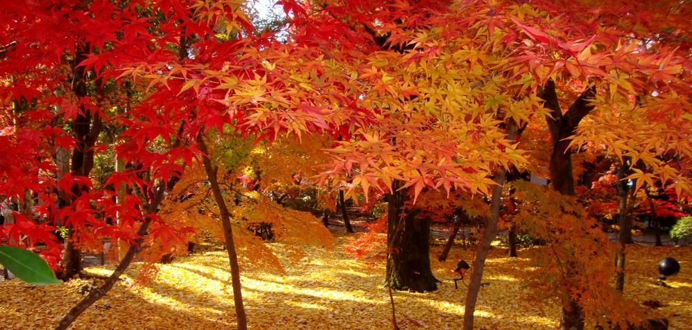 いろは楓の永観堂・南禅寺と疎水に映える紅葉 そぞろ歩きの哲学の道