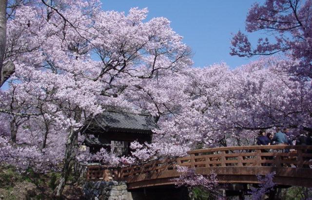 【徳島】天下第一 高遠城址公園の桜まつりと日本三大桜 山高神代桜(長野)