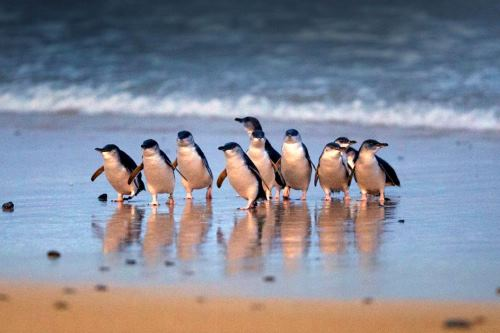 【徳島発】 年末年始!フィリップ島ペンギンパレードとメルボルン6日間(オーストラリア)