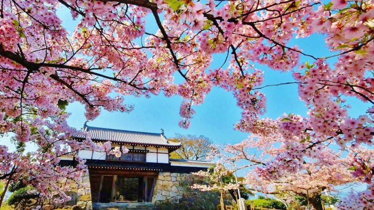 春の訪れ~愛媛・川之江城900本の桜並木と初めての水引体験