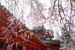 京のお花見さんぽ 平安神宮~岡崎疎水~蹴上インクライン