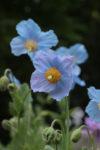 ヒマラヤの青いケシ 花のガイドがご案内する六甲高山植物園と神戸三田プレミアムアウトレット