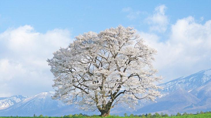 春爛漫!みちのく三大桜と中尊寺『金色堂』・小岩井農場の一本桜3日間