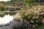 2つのバラ園 デビッド・オースチン・イングリッシュローズガーデンと荒牧バラ公園