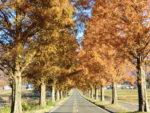 GoToトラベル事業支援対象 マキノ高原メタセコイア並木の紅葉と朽木の名刹「興聖寺」