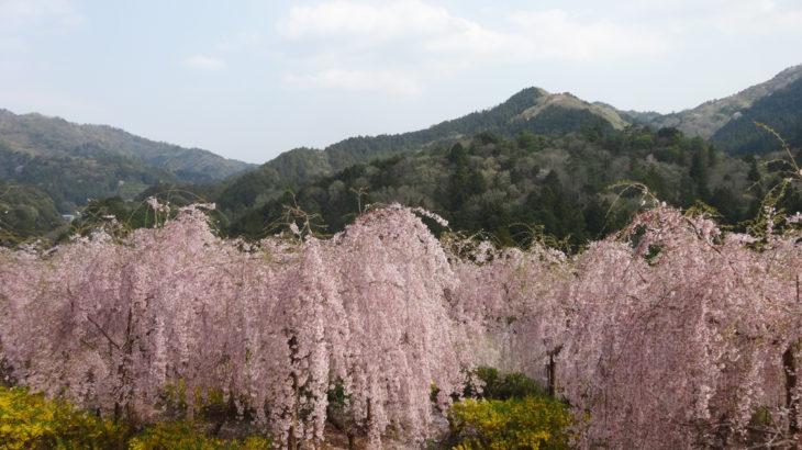ええとこあるでよ 地元のガイドとともに 神山町「さくら街道」🌸 散策